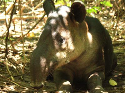 Tapir Osa Peninsula Costa Rica